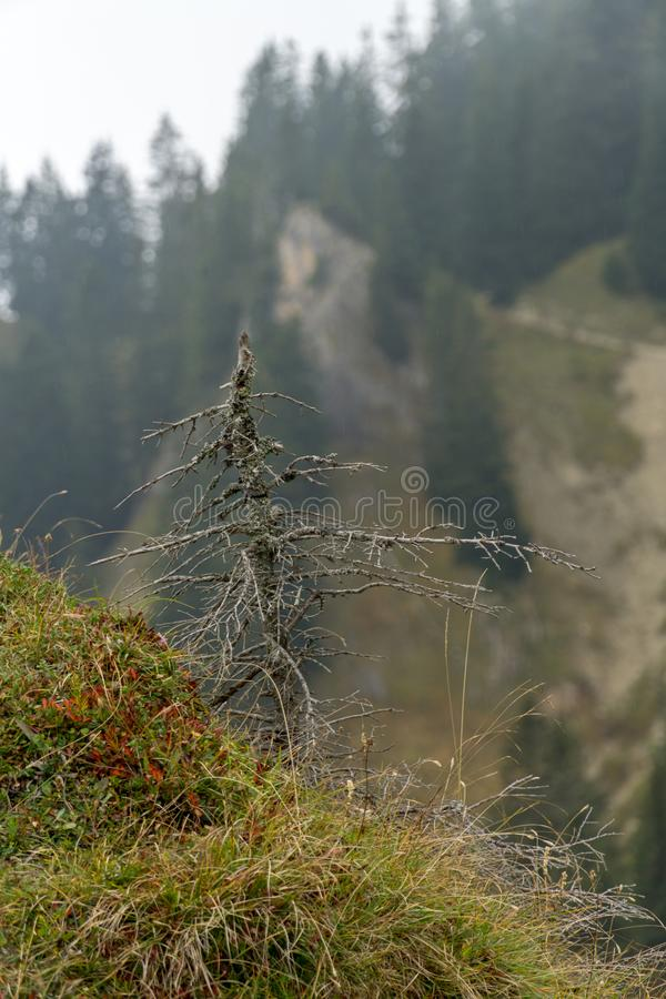 Dode naaldboom/naaldboom in een bos op een humeurige, mistige dag royalty-vrije stock foto