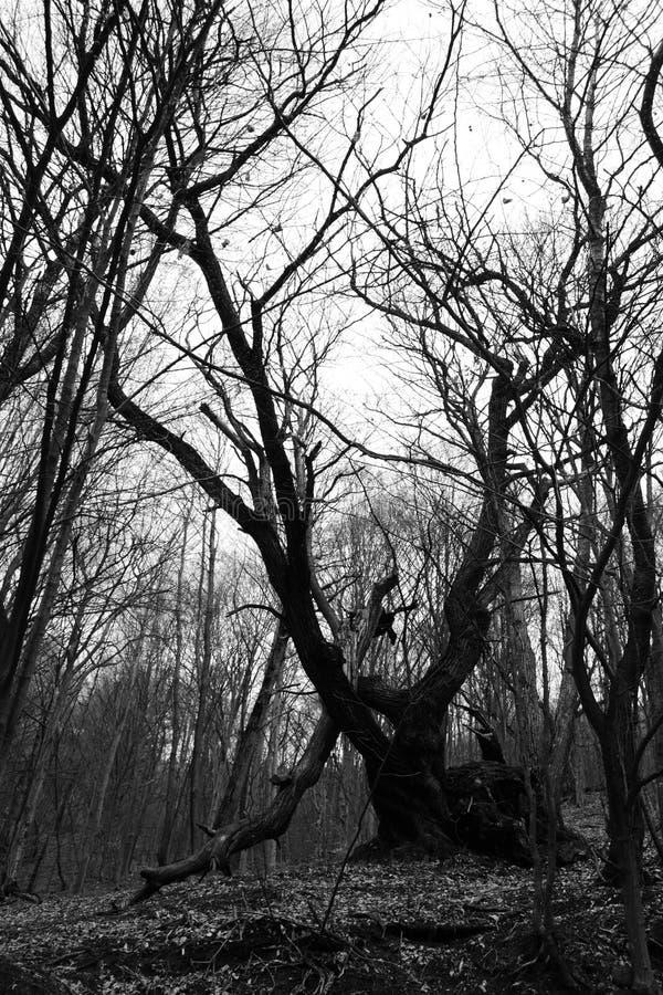 Dode oude boom in een bosheuvel stock foto