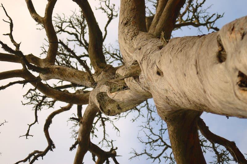 Download Dode pijnboom stock afbeelding. Afbeelding bestaande uit boomstam - 39467