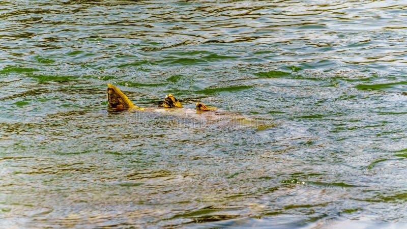 Dode Roze Zalm na stroomafwaarts het kuit schieten van in Stave River van de Ruskin-Dam in Hayward Lake dichtbij Opdracht, BC, Ca stock foto's