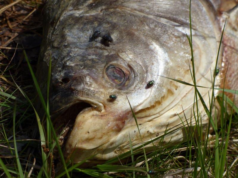 Download Dode vissen stock foto. Afbeelding bestaande uit ramp - 54085616