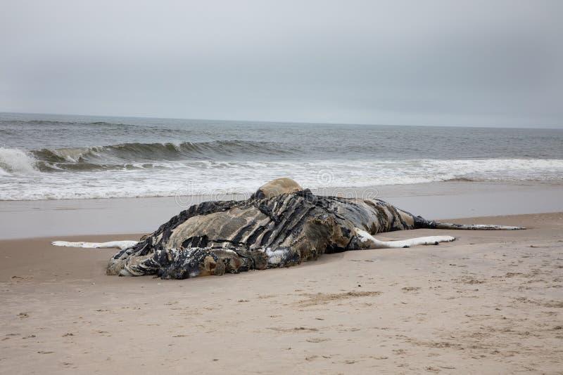 Dode Vrouwelijke Gebocheldewalvis met inbegrip van Staart en Dorsale Vinnen op Brandeiland, Long Island, Strand, met Zand in Voor stock foto