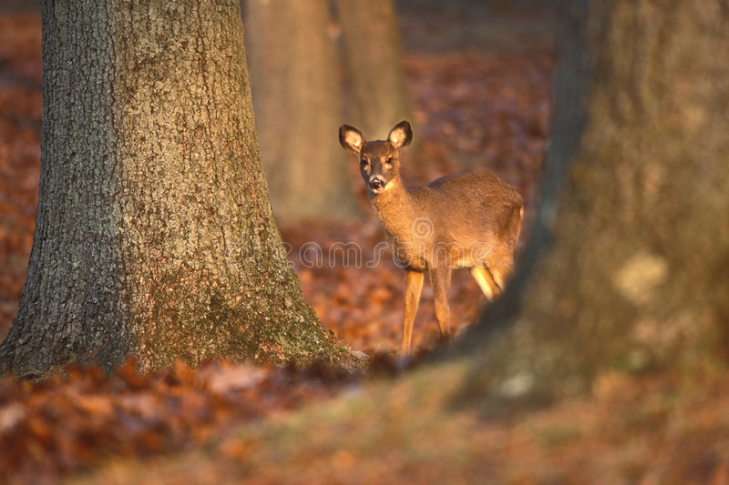 Download Doe behind trees stock image. Image of fall, courious, trees - 46747