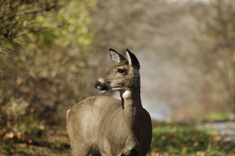 Download Doe deer in countryside stock photo. Image of looks, nature - 3368120