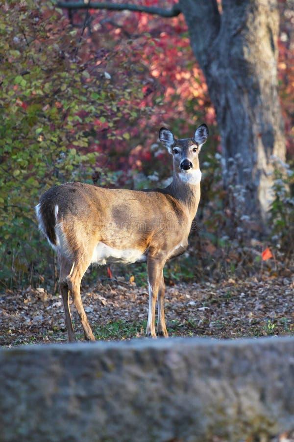 Doe a Deer stock photos