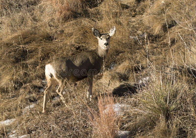 Doe för mulahjortar som går upp den gräs- backen arkivfoto