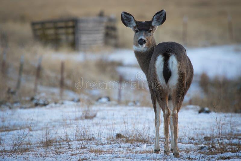 Doe för mulahjortar som tillbaka ser royaltyfri bild