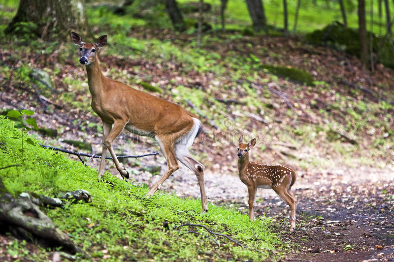 Doe and fawn. Whitetail doe with fawn on a campground near the Blue Ridge Parkway royalty free stock image