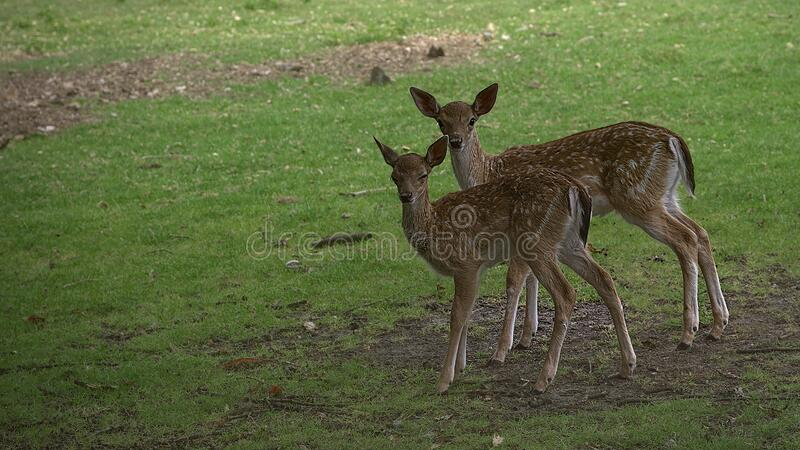 Doe and Fawn. A doe and Fawn look straight into the camera in a meadow royalty free stock photo