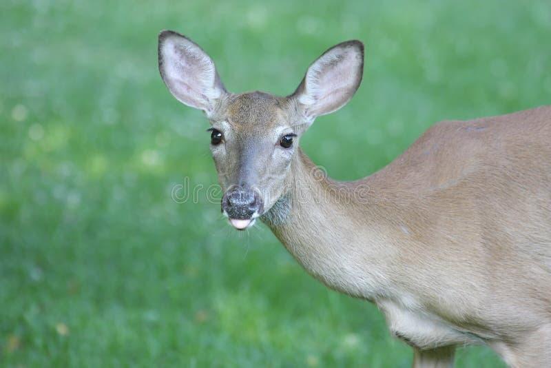 doe jeleniej śledzić white zdjęcia stock