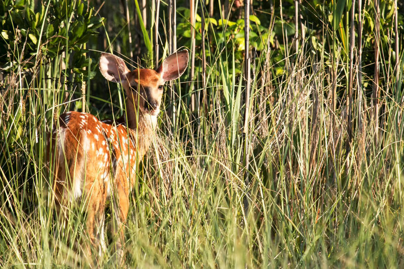 A doe looks behind to see what the noise is stock photography