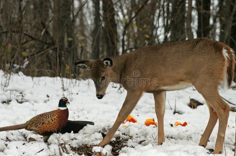 Doe meets Pheasant. A young doe meets a pheasant stock images