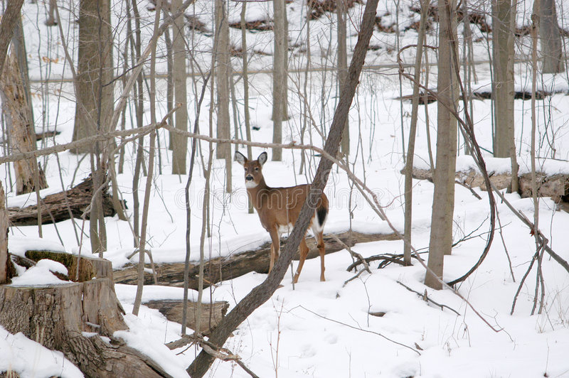 Doe in Metro Parks royalty free stock photography