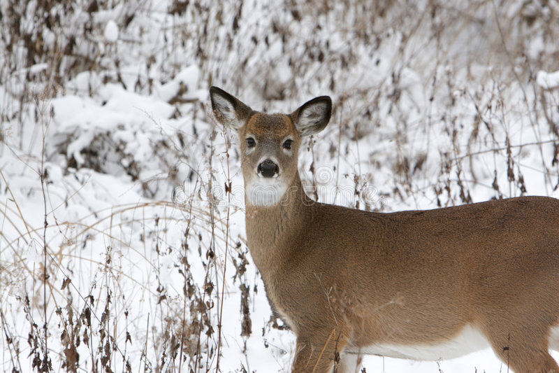 Download Doe in the Snow stock image. Image of wildlife, winter - 562183
