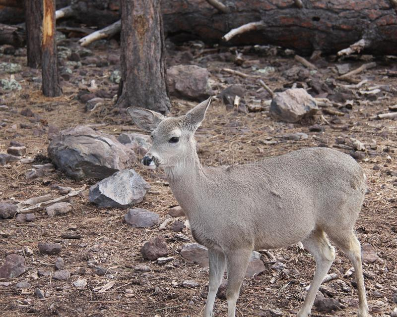 Doe standing in forest stock photo