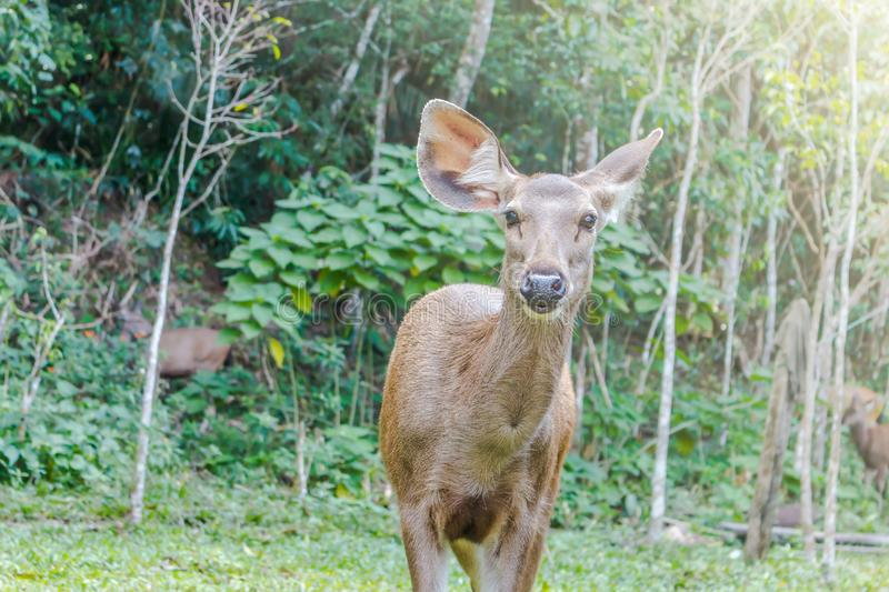 The doe standing on green grass in forest with sunlight royalty free stock photography