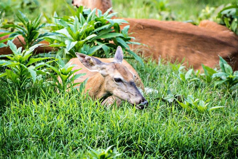 Doe Whitetail Deer Resting. Doe (female) Whitetail Deer Resting in field stock image