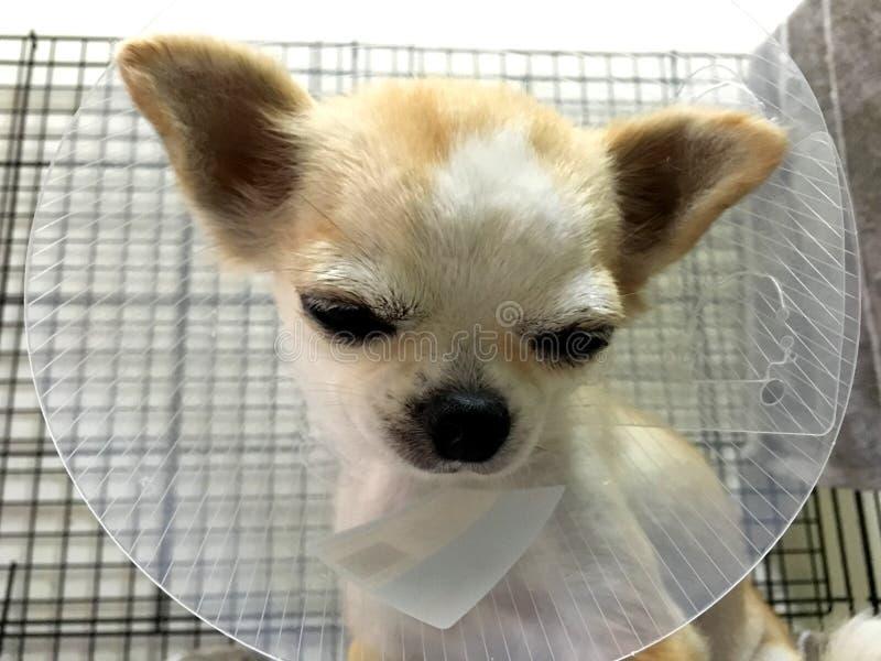 Doença Chihuahua filhote sentado e usando colarinho de funil plástico imagem de stock