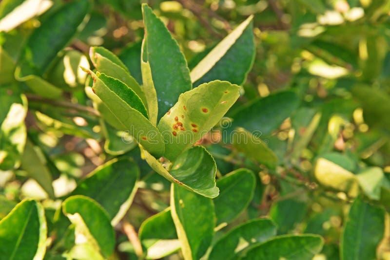Doença da úlcera nas folhas do citrino foto de stock royalty free