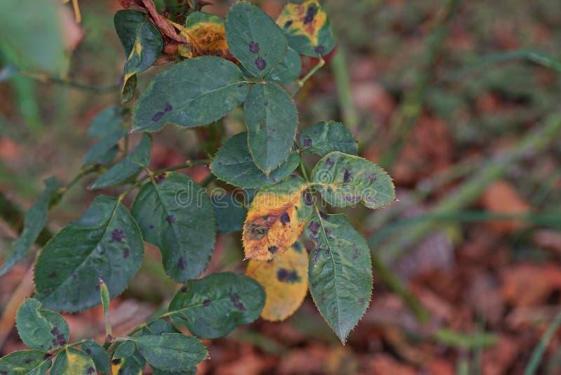 A doença de planta, as folhas fungosas a doença do ponto que em rosas causa o dano em aumentou imagens de stock