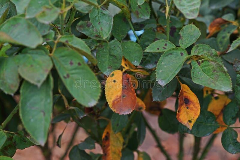 A doença de planta, as folhas fungosas a doença do ponto que em rosas causa o dano em aumentou foto de stock