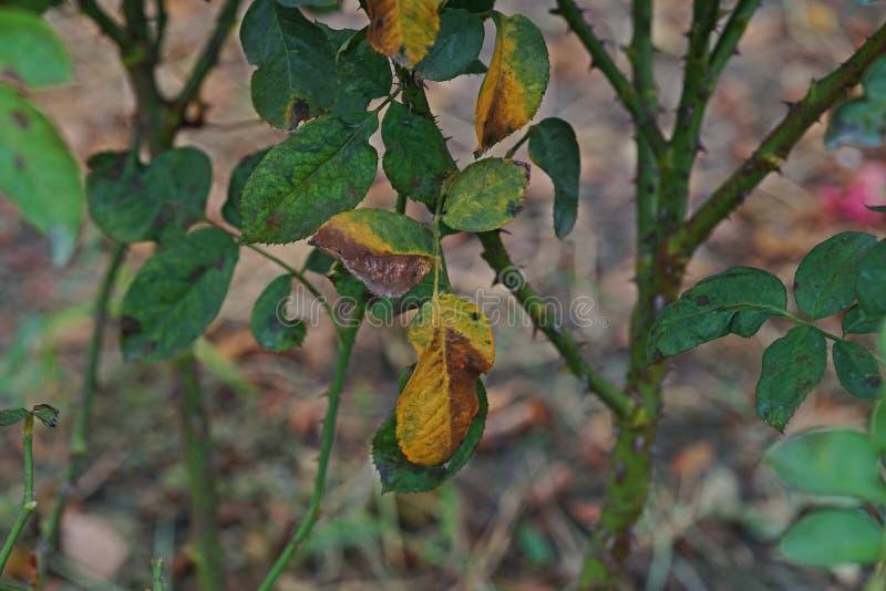 A doença de planta, as folhas fungosas a doença do ponto que em rosas causa o dano em aumentou imagens de stock royalty free