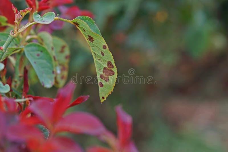 A doença de planta, as folhas fungosas a doença do ponto que em rosas causa o dano em aumentou fotografia de stock