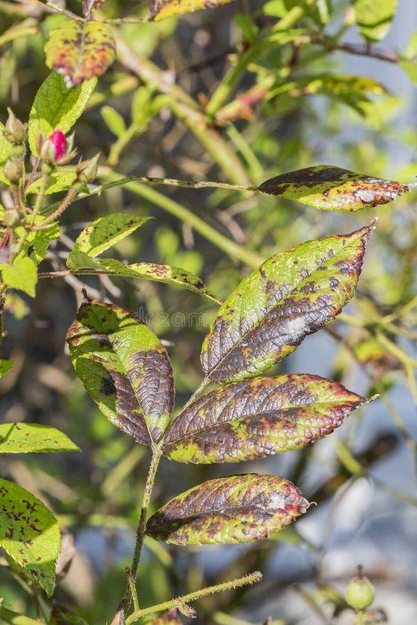 A doença de planta, as folhas fungosas mancha a doença no rosetree fotografia de stock royalty free