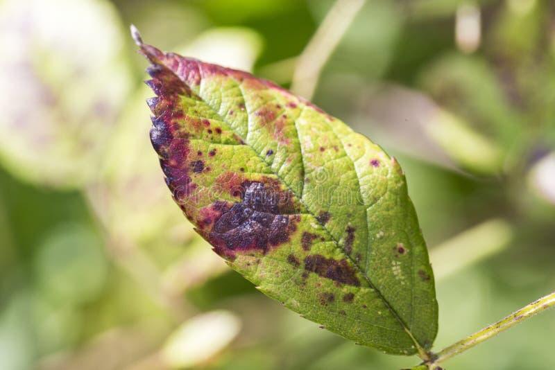 A doença de planta, as folhas fungosas mancha a doença no rosetree foto de stock