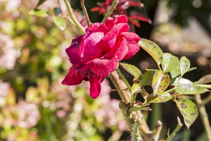 A doença de planta, as folhas fungosas mancha a doença no rosetree imagem de stock royalty free