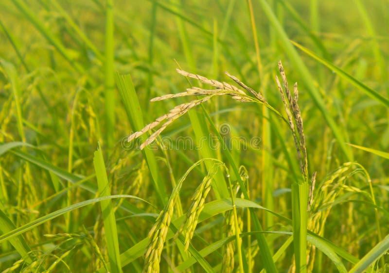Doença do arroz fotografia de stock