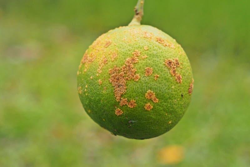 Doença do citrino, úlcera do citrino, fotos de stock