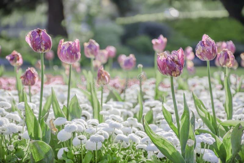 Doença do fogo da tulipa imagem de stock