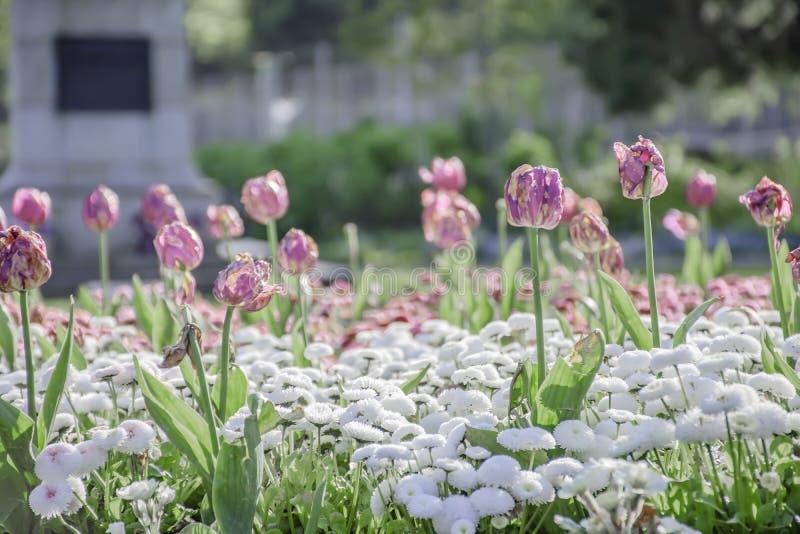 Doença do fogo da tulipa fotos de stock royalty free