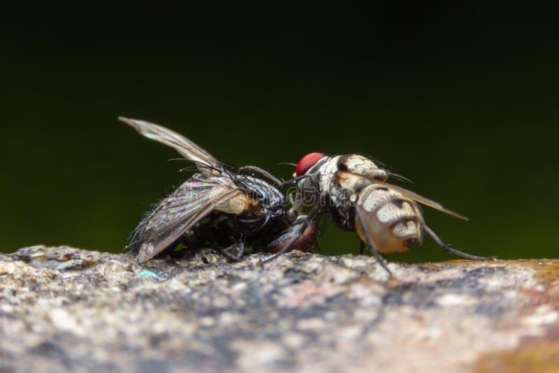 Doenças da causa das moscas fotos de stock