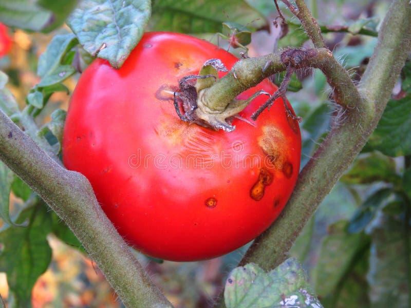 Doenças de planta comuns do tomate de Phytophthora Infestans da ferrugem atrasada fotografia de stock