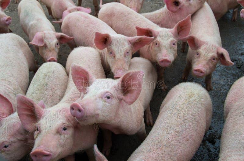 Doenças dos porcos Febre de suínos africana em Europa fotos de stock royalty free