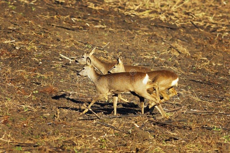 Doen schrikken kuitendeers die op landbouwterrein lopen stock afbeelding