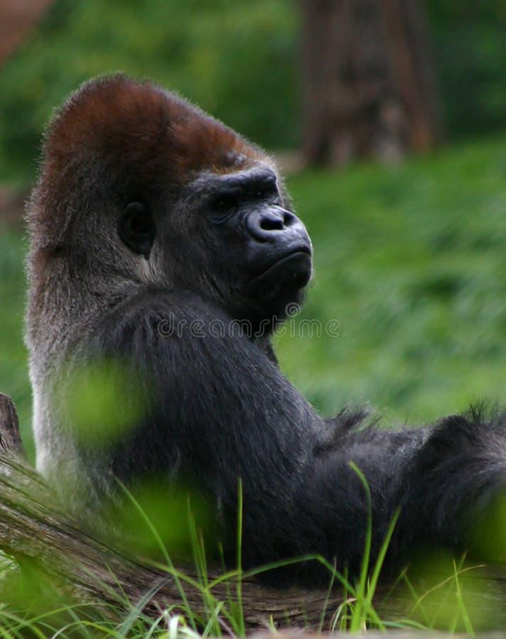 Doende leunen gorilla royalty-vrije stock foto's