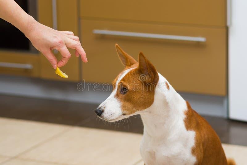 Doesn& x27 del cane di Basenji; la t vuole mangiare il limone - questo è alimento umano sconosciuto immagine stock libera da diritti