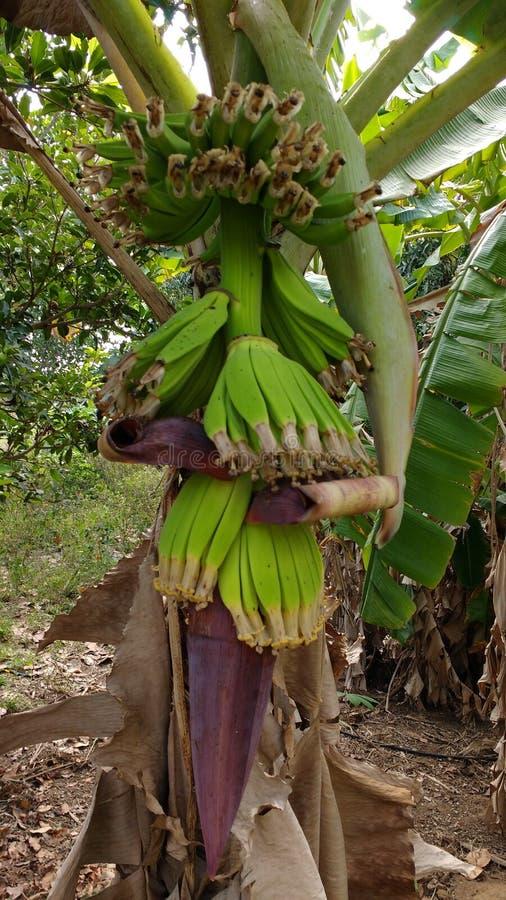 dof μπανανών πράσινο ρηχό δέντρο Λάσπη μπανανών Λουλούδι μπανανών Μέλι μπανανών Πράσινο bannana στοκ φωτογραφία με δικαίωμα ελεύθερης χρήσης