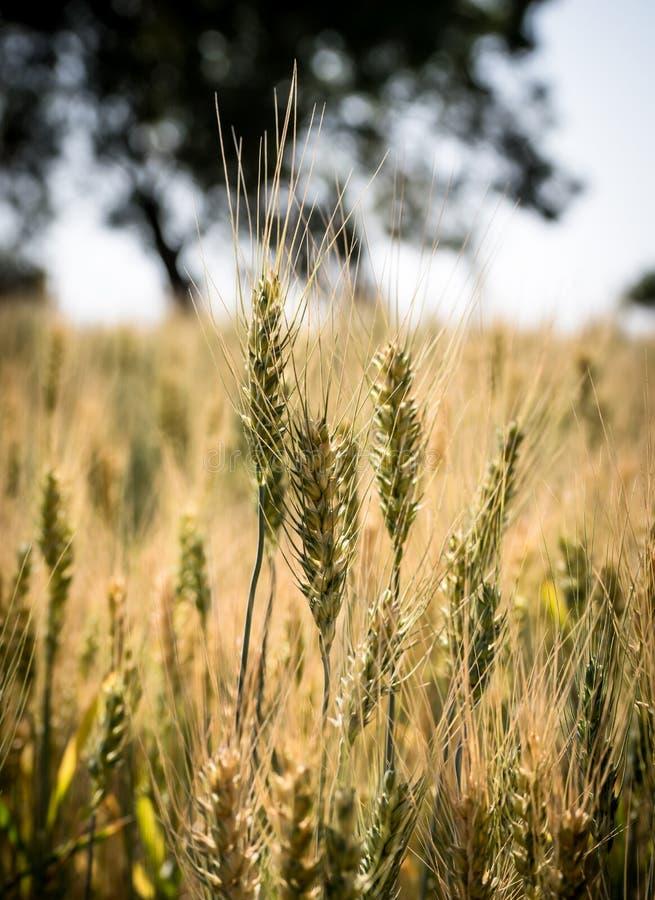 dof pola pszenicy pionowe złota płytka fotografia stock