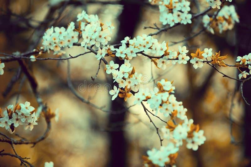 dof sadu fotografii sepia płycizny wiosna brzmienie rocznika okwitnięcia czereśnia fotografia stock