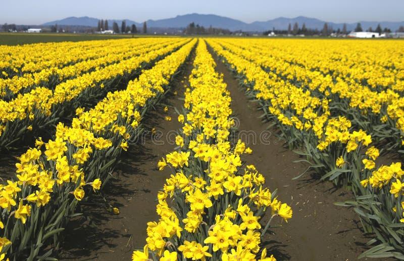 Doffodillinear Zdjęcie Royalty Free