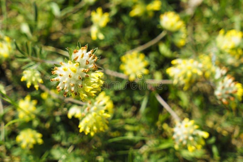 Doftande guling blommar på en grön äng royaltyfri foto