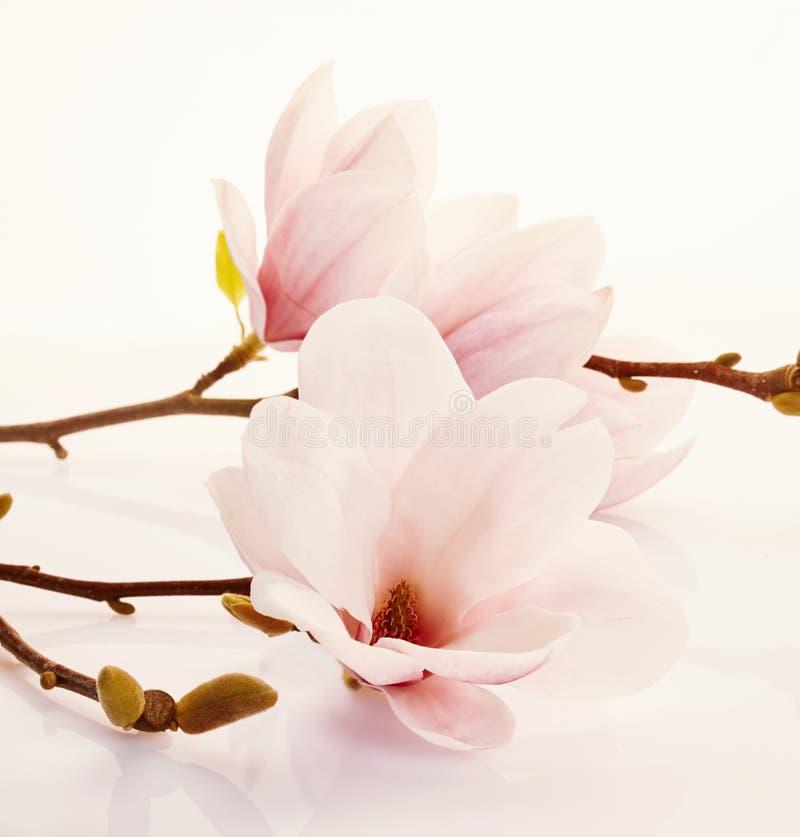 Doftande nya rosa magnoliablommor royaltyfri foto