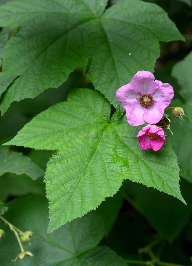 Doftande Rubusodoratus L för hallon , blommor och sidor arkivfoton