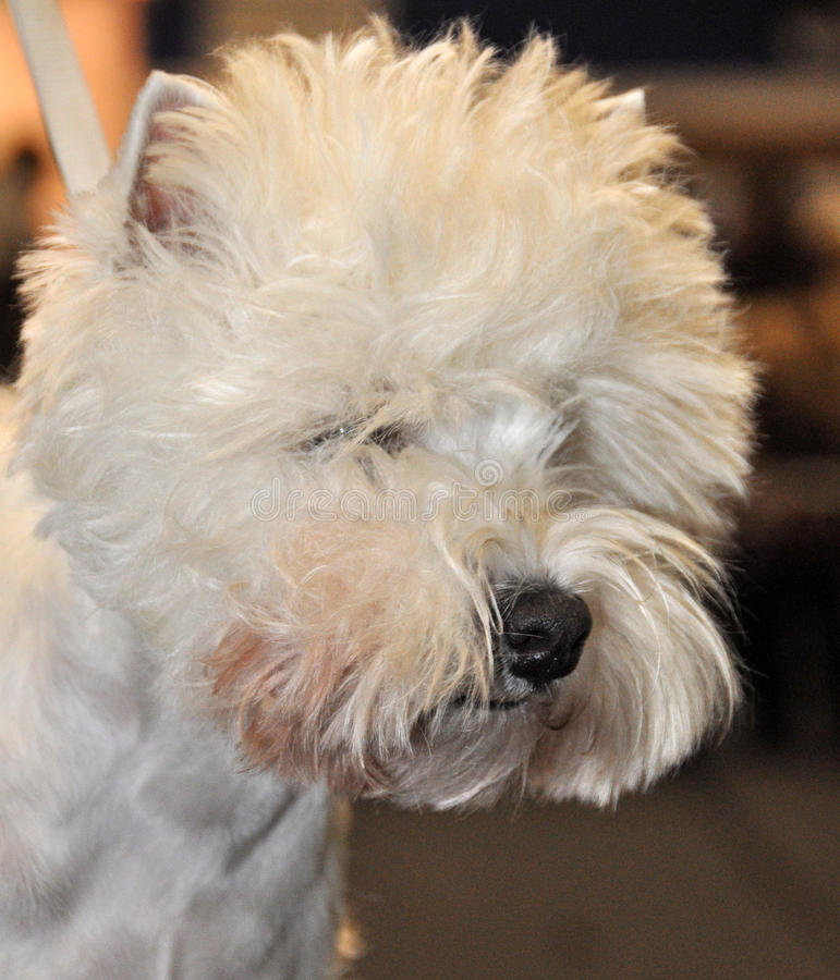 Download Dog Bichon Frise stock image. Image of full, care, nursery - 39513167