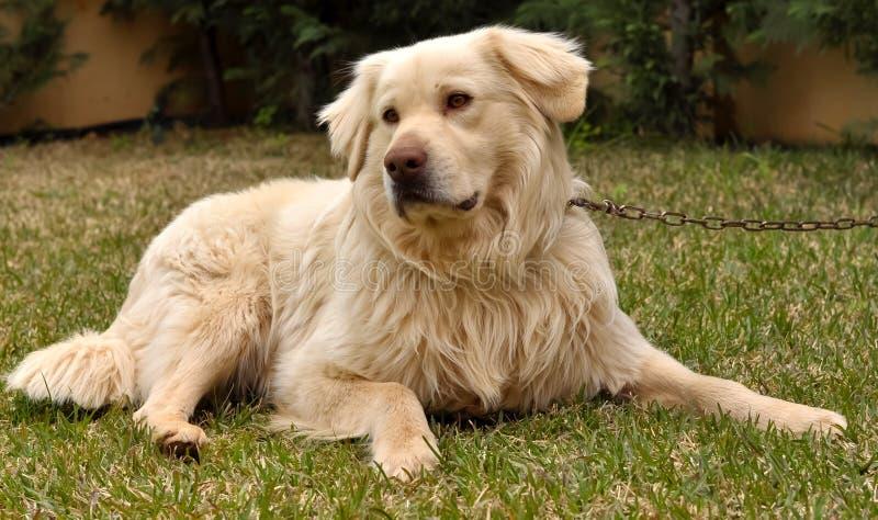 Dog_004 foto de stock royalty free