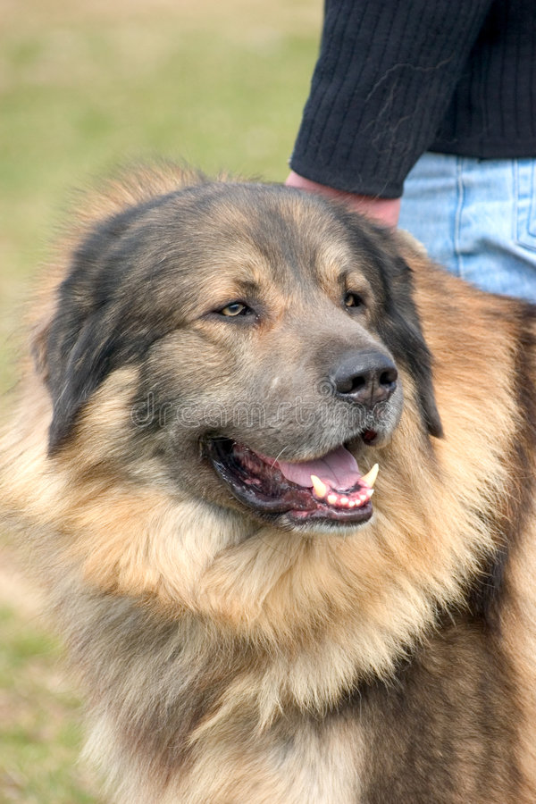 Download Dog stock photo. Image of canine, tongue, teeth, hair, animal - 116440